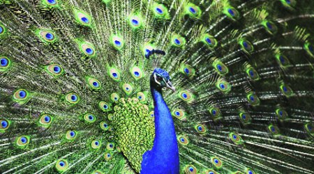 THE FIRST PEACOCK